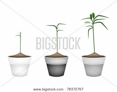 Fresh Sesame Plant in Ceramic Flower Pots