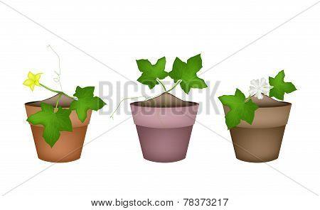Fresh Green Marrow Plants in Ceramic Flower Pots