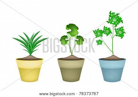 Three Fresh Herbal Plant in Ceramic Flower Pots