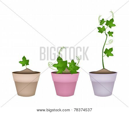 Green Chayote Plants in Ceramic Flower Pots