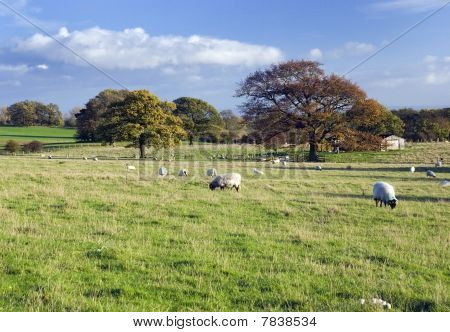 Sheeps, Scottish Pasture, West Lothian