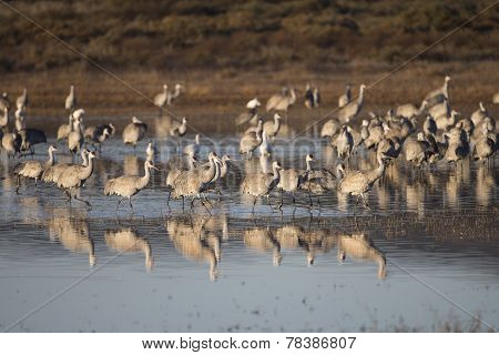 Sandhill cranes at Bosque del Apache National Wildlife Refuge in San Antonio New Mexico