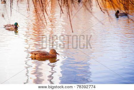 Ducks In Water Of Lake