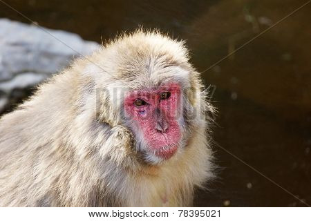 Sad Japanese Macaque