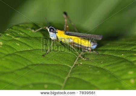 Coloured Grasshopper