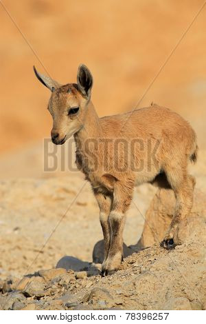 Baby Ibex with Little Horns.