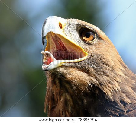 Big Eagle With Open Beak And Eyes Wide-open