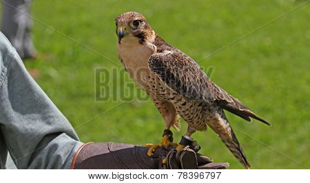 Falconer With The Falcon On Training Glove