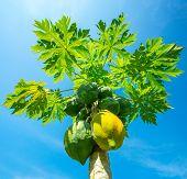 stock photo of papaya  - Green and yellow papayas growing on a tree - JPG