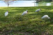 stock photo of grass bird  - A small group of white Ibis birds hunts for food in the grasses by a lake - JPG
