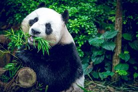 picture of eat grass  - Hungry giant panda bear eating bamboo - JPG