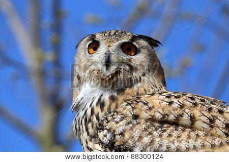 Horned Owl (bubo Virginianus)