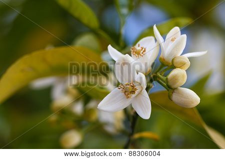 Orange blossoms grace a valencia tree in early spring.