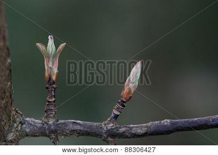 Bodnant Viburnum Buds