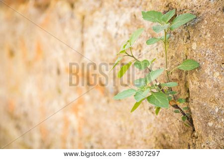 The plant grows to a stone wall