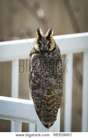 Rare Long-eared Owl Perched In Broad Daylight