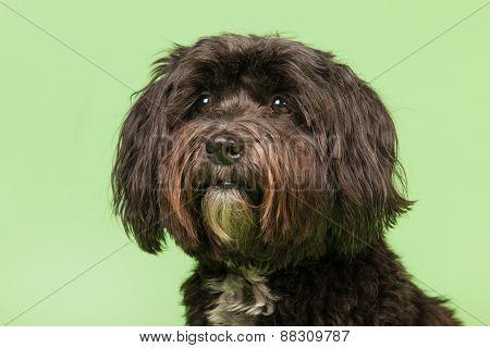Little black Tibetan Terrier on green background