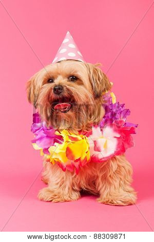 Birthday dog with chains and hat on pink background