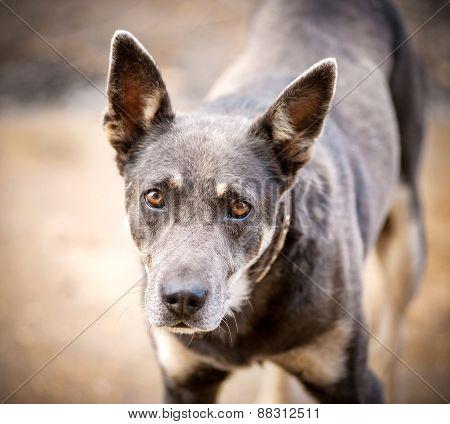 Smart Big-eyed Dog Look At Camera