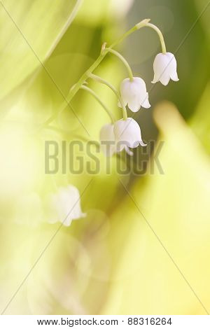 Wild-growing Forest Flower - A Lily Of The Valley.