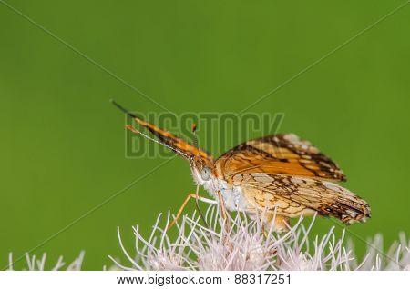 Butterfly On A Milkweed