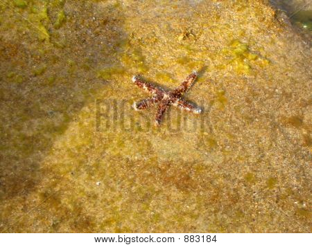 Starfish Resting