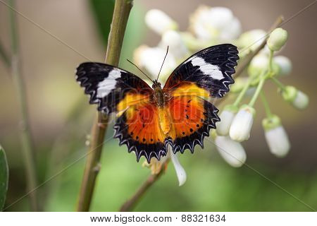 beautiful butterfly with open wings flying