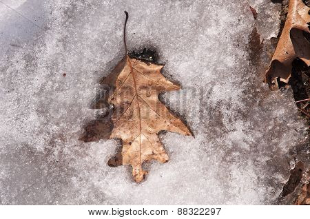 Brown Oak Leaf On Snow