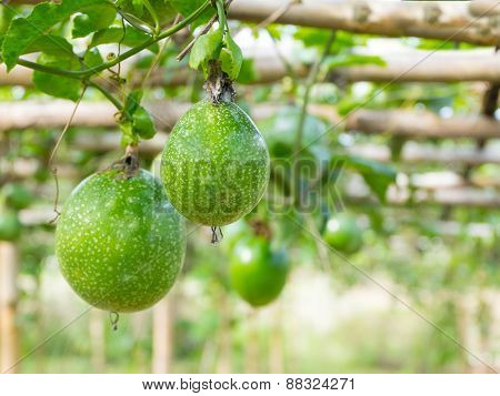 Passion Fruit At Farm