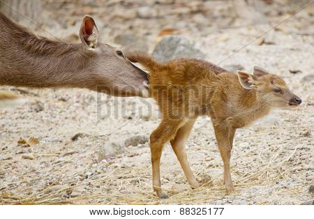 Little Deer With Take Care From His Mom