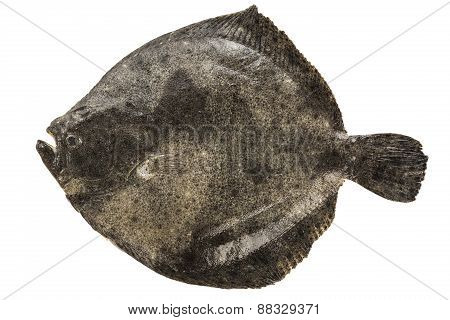Turbot isolated on white