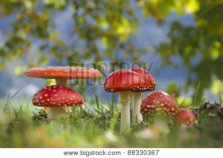 Amanita muscaria, many fly agarics in the grass