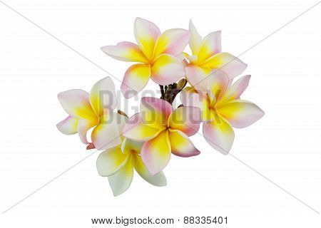 Pink Plumeria Flowers Isolated On White Background, Soft Focus