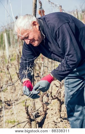 Gardener with a sharp pruner making a grape pruning - cutting branches at spring. Selective focus