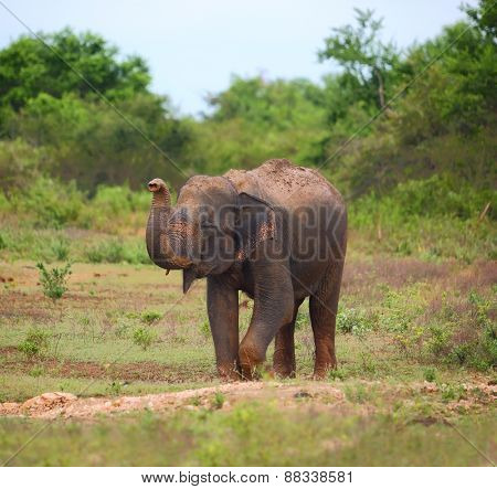 Wild indian elephant raises the trunk - Sri Lanka