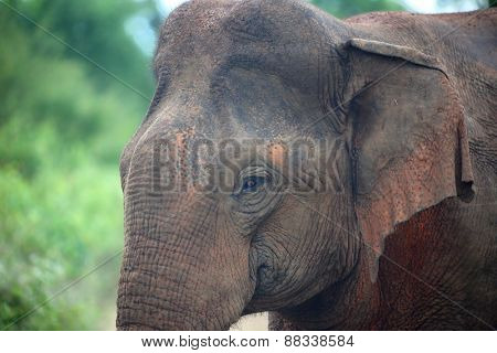 Portrait of indian elephant in jungle of Sri Lanka