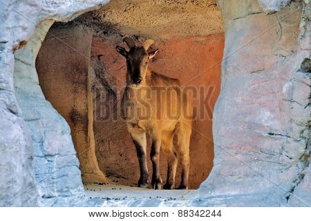 Mountain Goat in cave.
