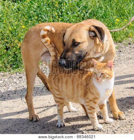 Brown Dog And Ginger Cat Together
