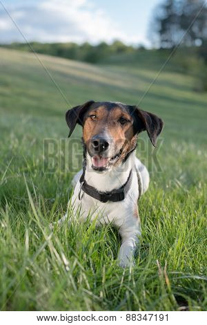 Dog resting in grass