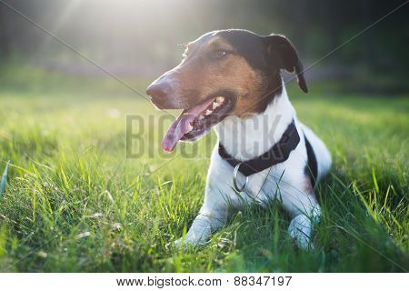 Dog resting in grass