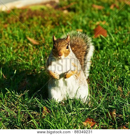 Gray squirrel standing in park
