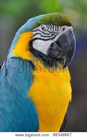 Close Up Beautiful Macaw Bird With Angry Eye Action.