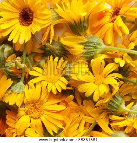 marigold, background