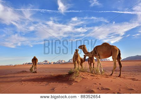 Camels In Wadi Rum Desert
