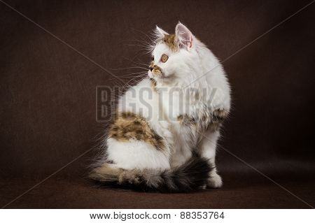Scottish tortoiseshell and white straight kitten