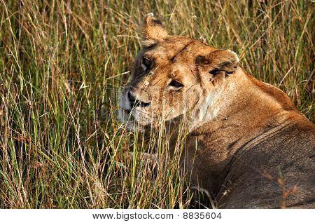 Lioness in wild grass