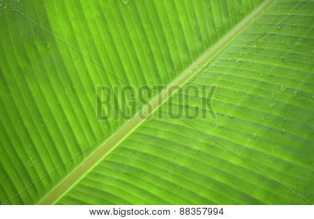banana leaf green after the rain and dew