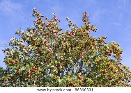 Rowan, rowan-berries in a sunshine.