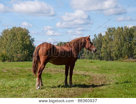 Dark Bay Horse In A Meadow