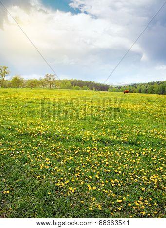 Flowering Dandelion field